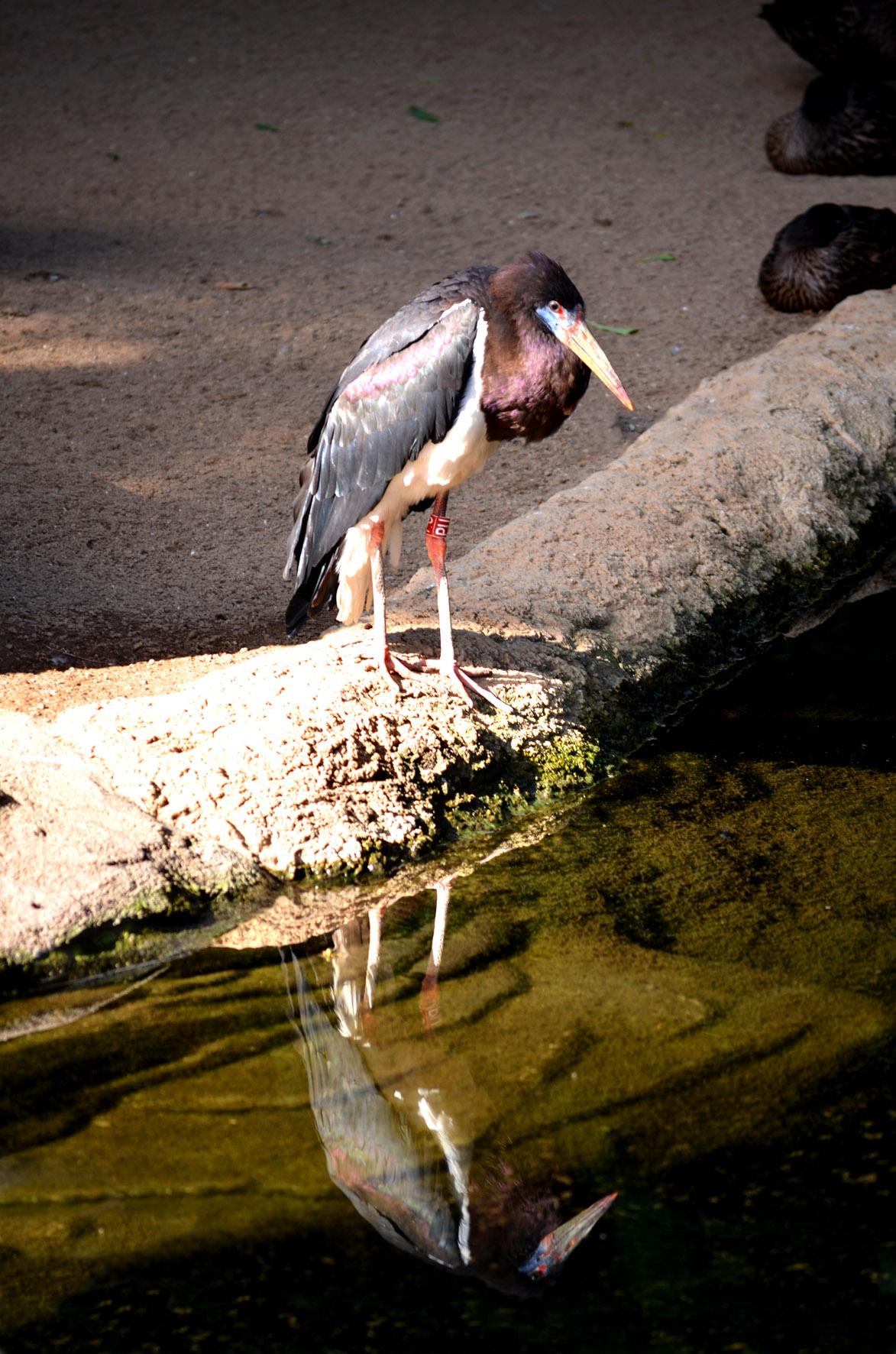Cigüeña de Abdim de Bioparc Fuengirola