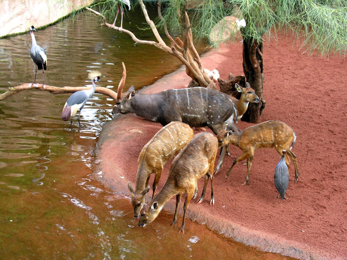 Sitatungas, grullas y gallinas pintadas en la zona del humedal africano de Bioparc Fuengirola